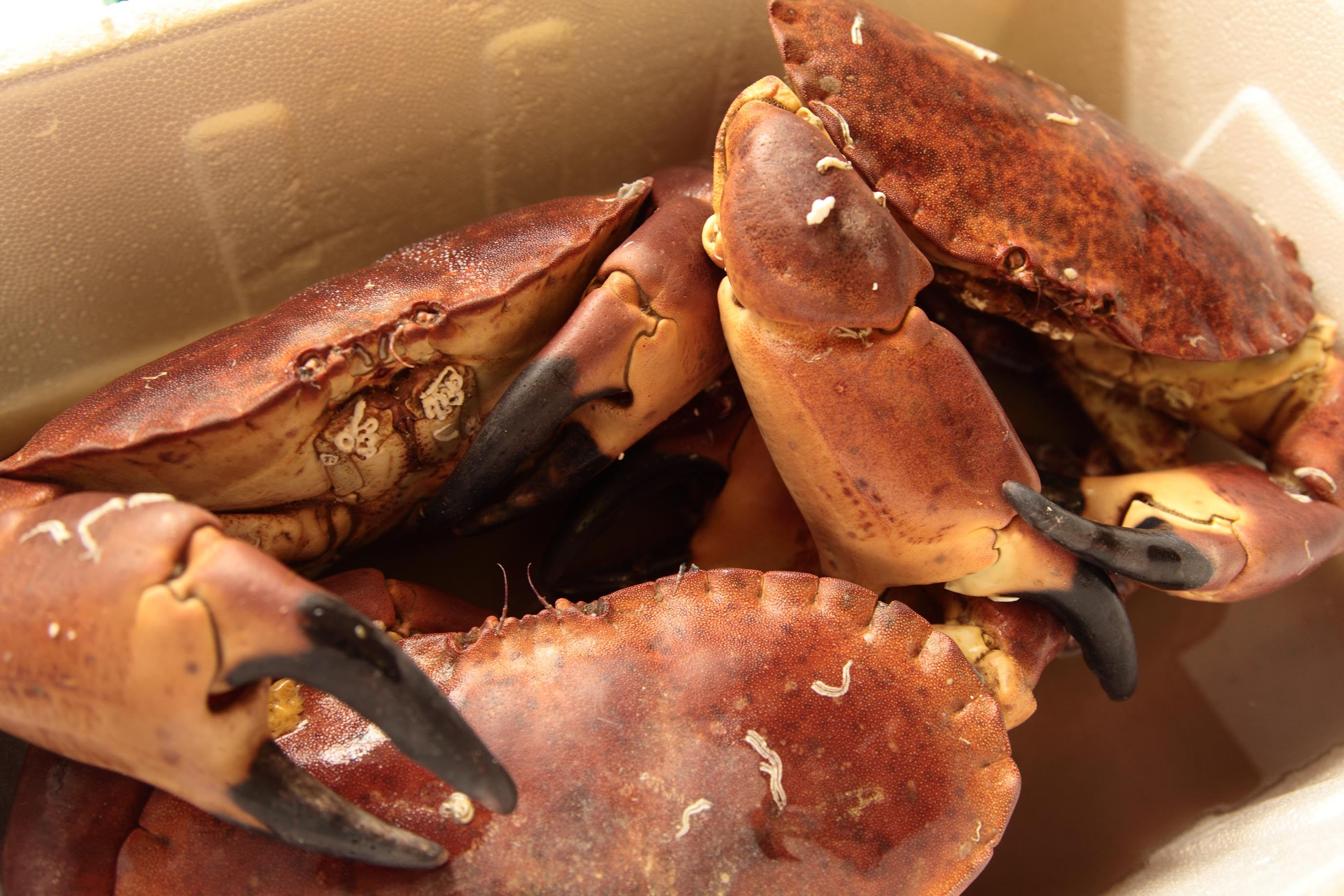 How To Remove Meat From A Crab Great British Chefs